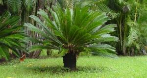 Palmeira Sagu - apresenta vômitos, diarreia, gastroenterite com sangramento e, nos casos de intoxicações mais graves, dano no fígado e morte.