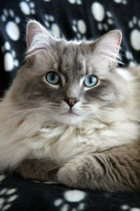 Ragdoll, Foto: attackofthecute.com