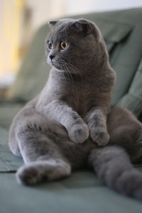 Scottish Fold, foto: scottishfoldsofcalgary.blogspot