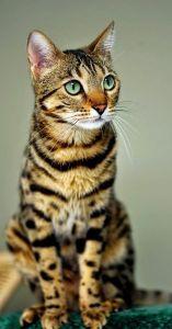 Gato de Bengala, foto: angelsonland.info