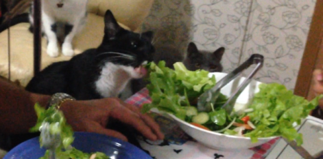 gato salada