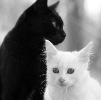 gato preto branco