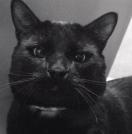 bagheera gato